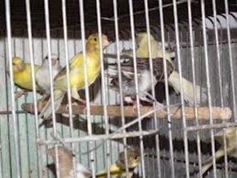 pájaros enjaulados