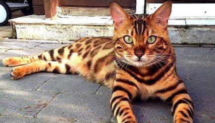 gato de bengala granada Clínica Veterinaria Alcazaba Granada