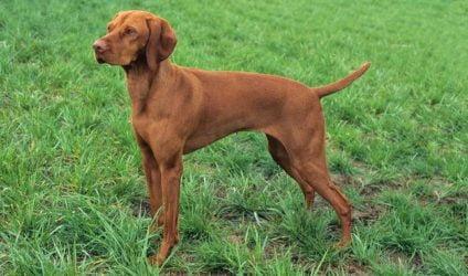genes perros atléticos clinicas veterinarias granada