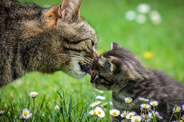 Embarazo de una gata duración