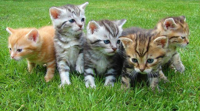 Embarazo de una gata complicaciones Clínica Veterinaria Alcazaba