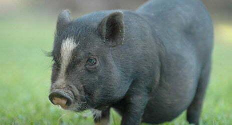 cerdos vietnamitas en españa