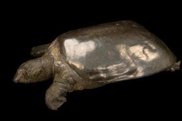 Tortuga gigante de caparazón blando