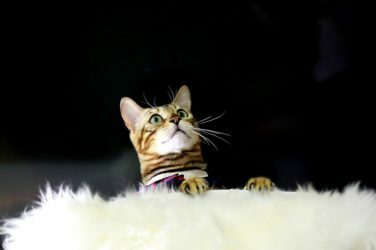 Coprologia en Gatos