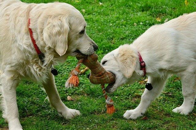 curar-herida-a-un-perro