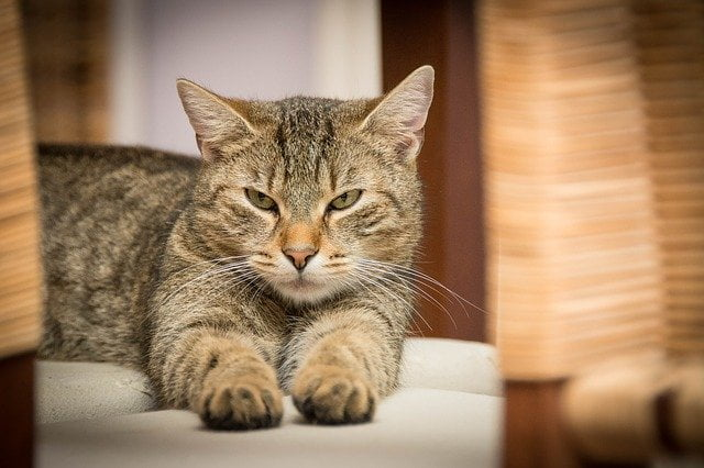 gatos-con-vomitos