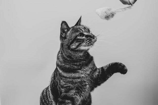 jugar-con-un-gato