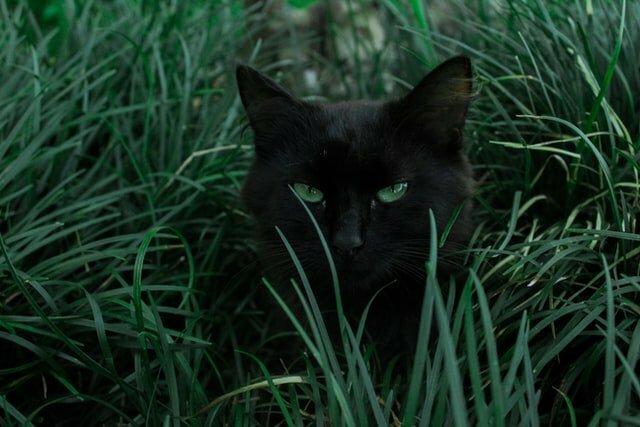 abscesos-en-gatos