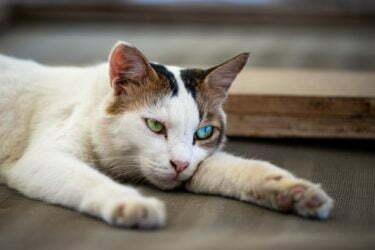 pancreatitis-en-gatos