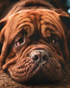 depresion-en-perros-sintomas