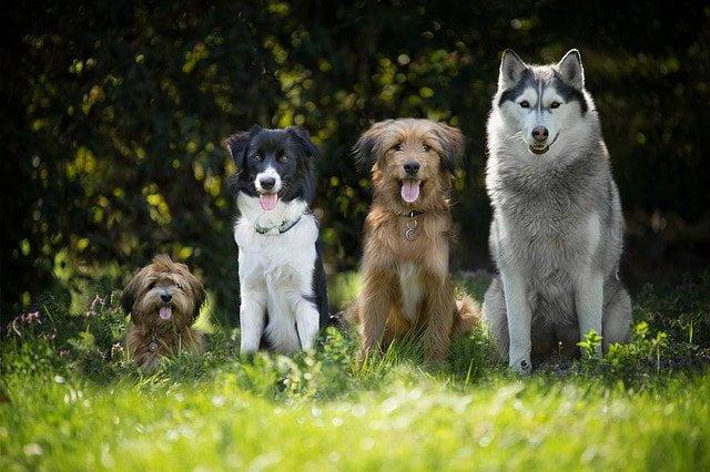 ventajas-castrar-perro
