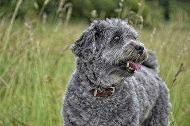 dermatitis-humeda-en-perros
